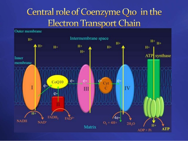 Coenzyme Q10 plays a critical role acting as an electron-transfer carrier inside the electron transport chain